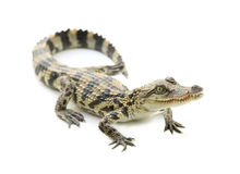 Young crocodile on white background Stock Photo