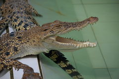Young Crocodiles in Farm. Animal photo, image of young crocodiles sunbathing in croc farm, crocodylus porosus Royalty Free Stock Photo