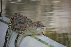 Young Crocodiles in Farm Royalty Free Stock Image