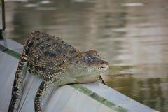 Young Crocodiles in Farm. Animal photo, image of young crocodiles sunbathing in croc farm, crocodylus porosus Royalty Free Stock Image
