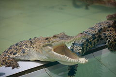 Young Crocodiles in Farm. Animal photo, image of young crocodiles sunbathing in croc farm, crocodylus porosus Stock Photo