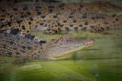 Young Crocodiles in Farm. Animal photo, image of young crocodiles sunbathing in croc farm, crocodylus porosus Royalty Free Stock Photography