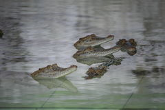 Young Crocodiles in Farm Stock Photo