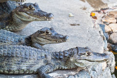 Young Crocodiles resting Stock Photos