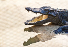 Young Crocodiles resting Stock Images