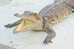Young Crocodiles resting Stock Photography
