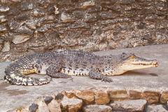 Young Crocodiles resting Stock Image
