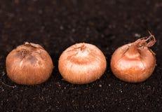 Young crocus bulbs Stock Photos