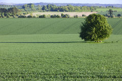 Young crop growing in green farm field Stock Photography