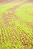 Young crops. Young grain on a reddish soil. With space for copy stock images
