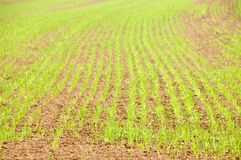 Young crops. Young grain on a reddish soil. With space for copy stock photos