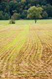 Young crops. Young grain on a reddish soil. With space for copy royalty free stock images