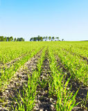 Young crops Royalty Free Stock Images