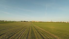 Young crops of wheat. Winter cereals. A green field of the ascending wheat at sunset on the outskirts of the city stock footage