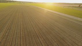 Young crops of wheat. Winter cereals. Green field of the ascending wheat at sunset. Aerial view. stock video