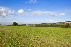 Young crops in the yorkshire wolds Stock Image