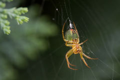 Young cross spider Stock Photo
