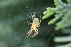 Young cross spider Royalty Free Stock Photo