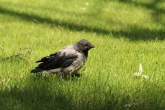 Young crow on the branch Royalty Free Stock Photo