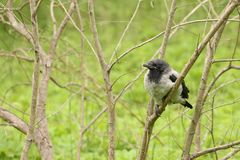 Young crow on the branch Royalty Free Stock Image