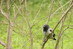 Young crow on the branch Royalty Free Stock Images