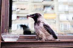 Young crow fallen from nest. Small young crow sitting on the window drinking water Royalty Free Stock Photography