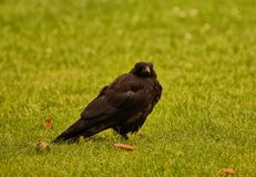Young crow Royalty Free Stock Images