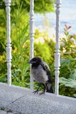 Young Crow is Standing On Fence Royalty Free Stock Image
