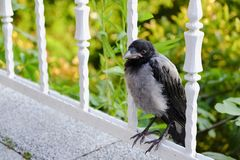 Young Crow is Standing On Fence Stock Photos