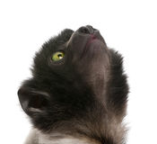 Young Crowned Sifaka - Propithecus coronatus (3 mo Royalty Free Stock Image