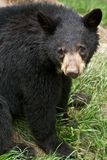 Young Cub Bear Sitting Stock Images