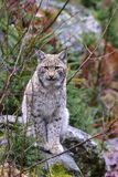 Young cub of lynx lynx Stock Image