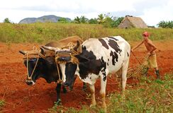 Young Cuban farmer works the land with cows and plough in the countryside of Vinales, Cuba