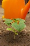 Young cuccumber plant Stock Photos