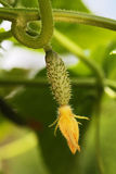 Young cucumber Stock Photos