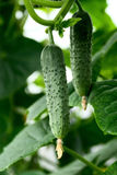 Young cucumber. Hanging on a branch Stock Photography