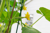 Young cucumber with flowers in a garden Royalty Free Stock Image