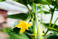 Young cucumber growing in the greenhouse Stock Photos