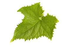 Young cucumber leaf Stock Photography