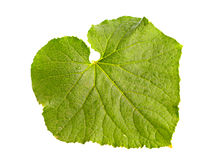 Young cucumber leaf Royalty Free Stock Photography