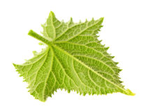Young cucumber leaf. Closeup isolated on white stock image