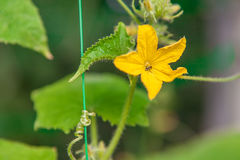 Young cucumber plant flower. Macro small cucumber with a flower close-up royalty free stock photo