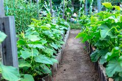 Young cucumbers in a small garden.  Royalty Free Stock Photography