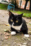 Young curious black and white pet cat on harness is walking in c. Ity in summer royalty free stock photo