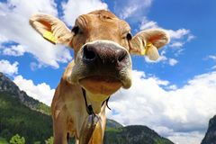 A young curious brown cattle with cowbells in the mountains.  Stock Photo