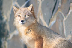 Young curious corsac fox looks into the camera. Stock Photos