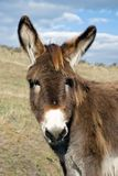 Young curious donkey Royalty Free Stock Photography