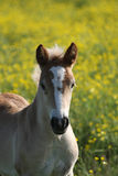 Young curious foal 1. Young foal looking at the camera with yellow flowers in the background royalty free stock photography