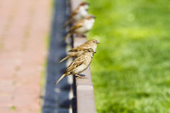 Young curious group of sparrows Stock Images