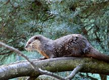 otter on tree in zoo royalty free stock photography